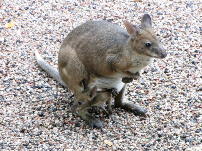 red-legged pademelon 2