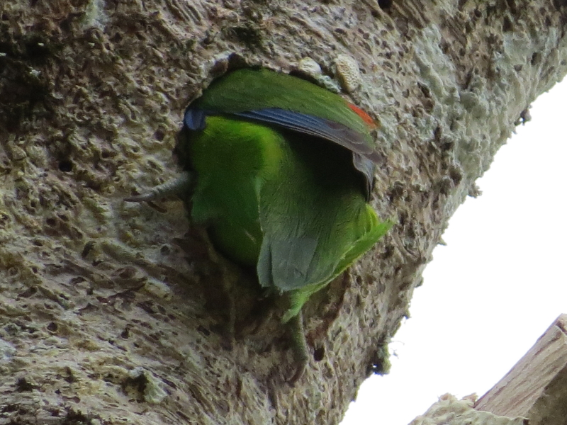 female fig-parrot, excavating nest