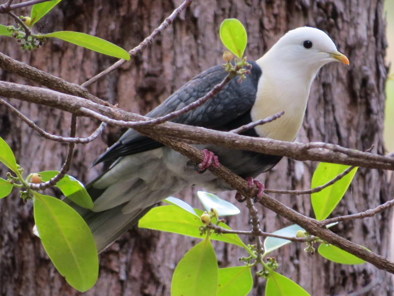 banded fruit-dove