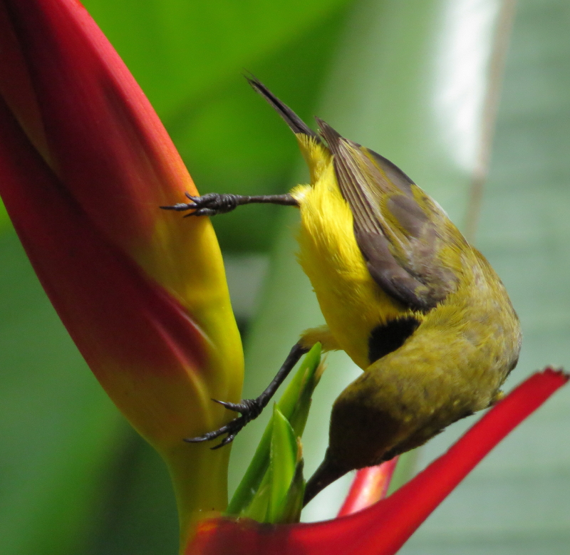acrobatic sunbird