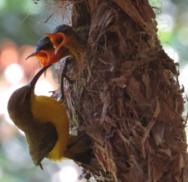sunbird female feeding chicks