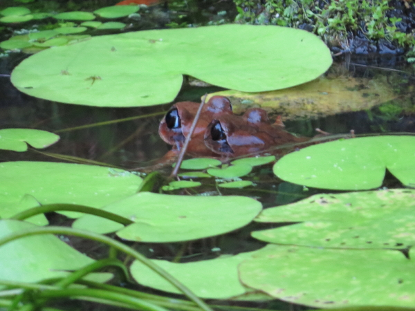 Barred Frogs Feb2015_1