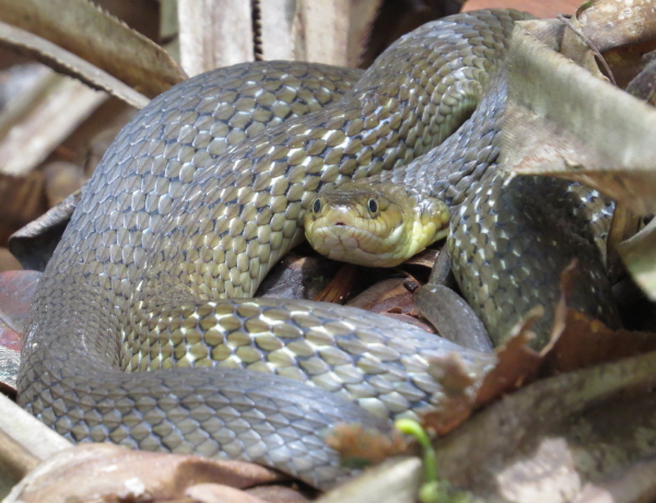 Keelback Snake 2015_1