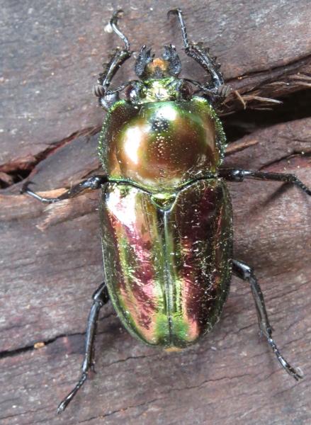 Mueller's Stag Beetle2015