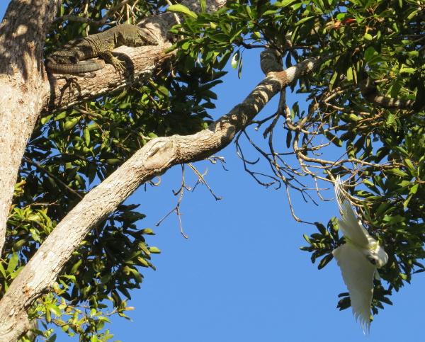 Cockatoo and Goanna