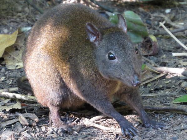 Musky Rat-Kangaroo