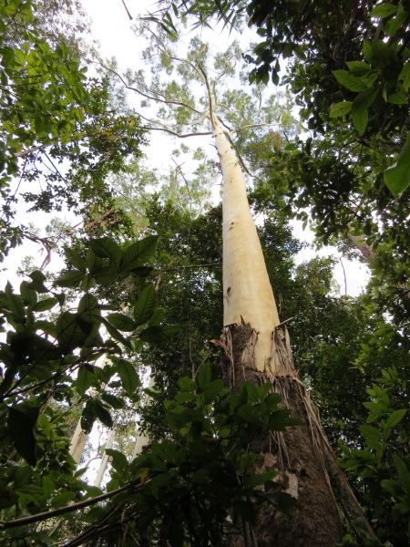 Rose Gum , Eucalyptus grandis