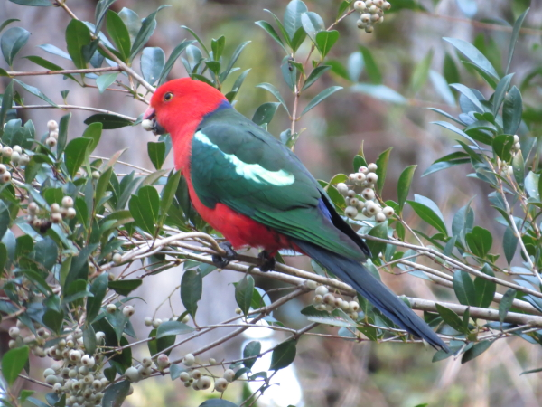 King Parrot in Lilly-pilly
