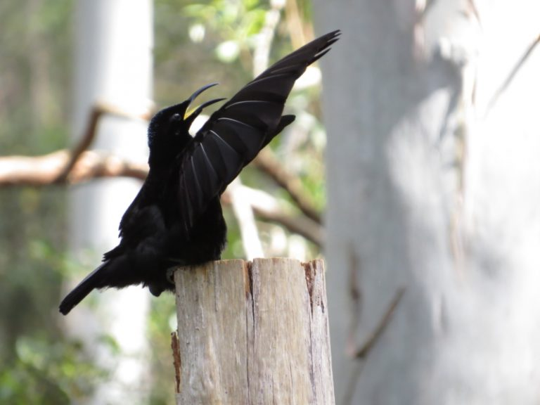Victoria's Riflebird, displaying