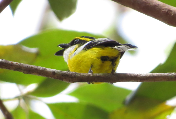 singing male Boatbill at Atherton Tablelands Birdwatchers' Cabin
