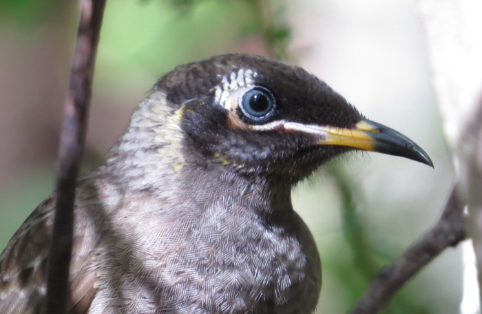 Bridled Honeyeater, Wondecla, North Queensland