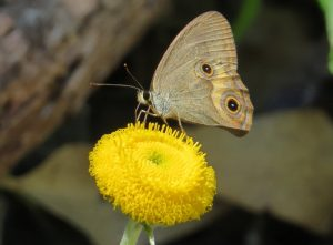 Brown Ringlet butterfly