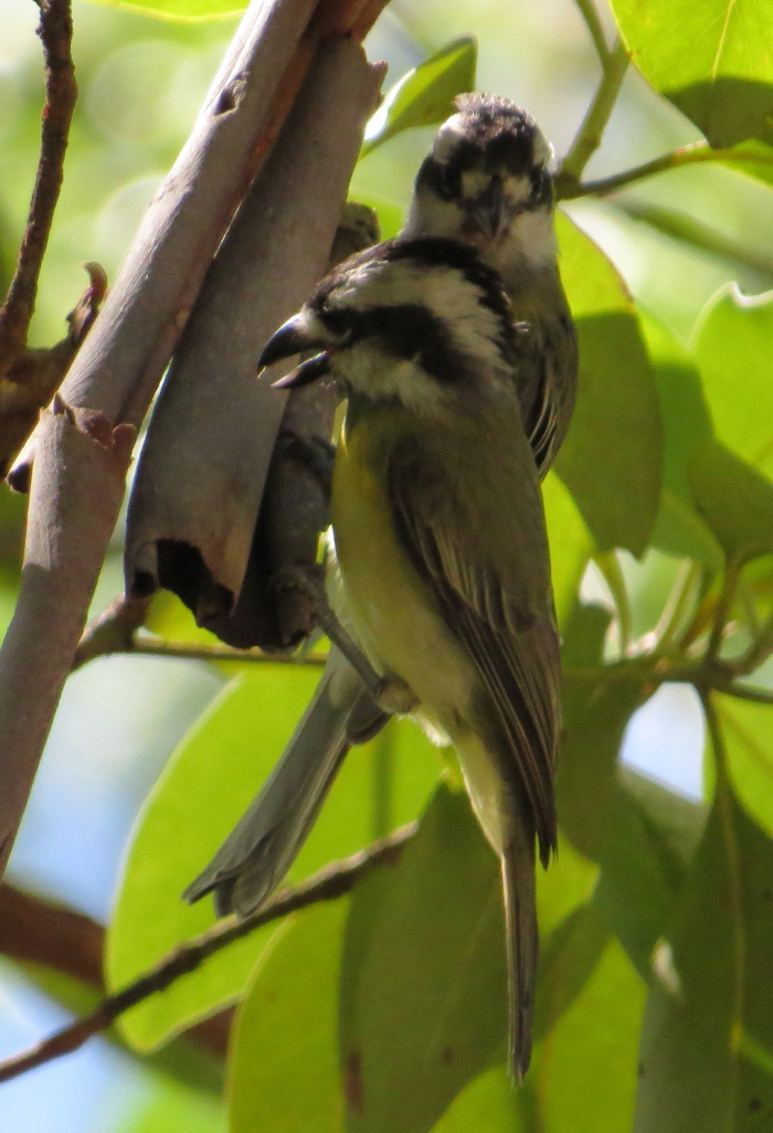 Crested Shrike-tits