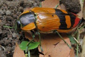 large Jewel Beetle