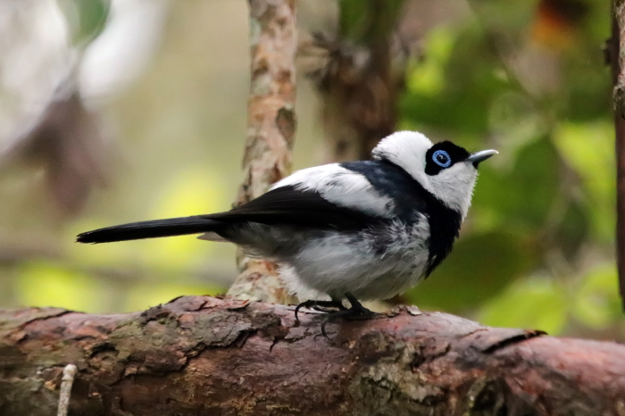 Pied Monarch Flycatcher