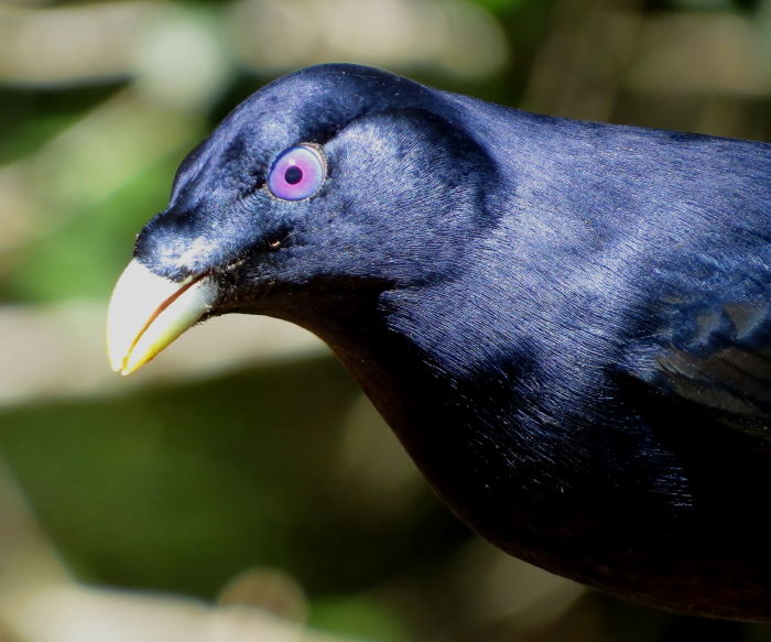 Male Satin Bowerbird, Atherton Tablelands