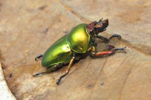stag beetle in Wondecla