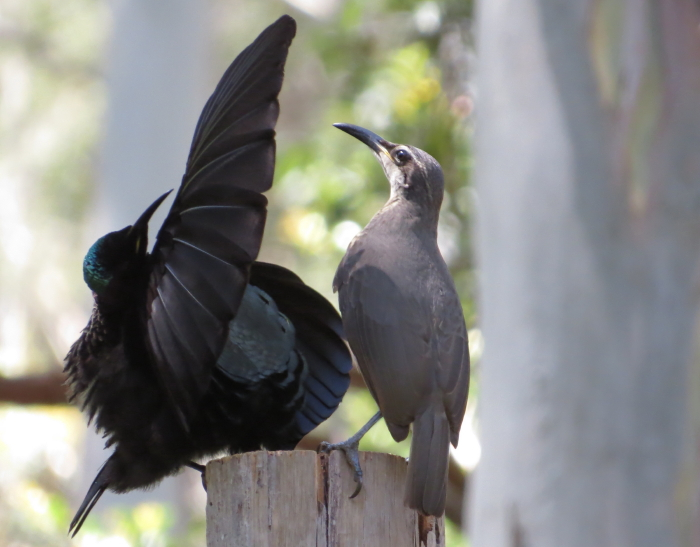 Victoria's Riflebird, displaying to female at Atherton Tablelands Birdwatchers' Cabin
