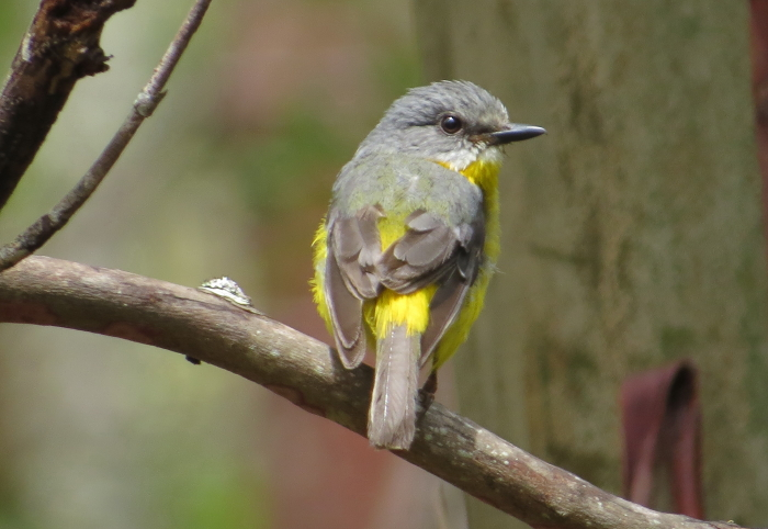 Eastern Yellow Robin, Atherton Tablelands