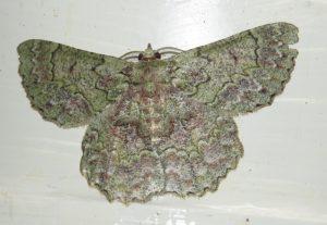 Hypodoxa emiliaria