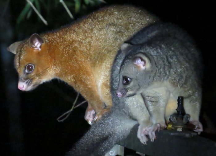 Coppery and Common Brushtail Possums