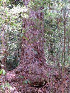 Red Mahogany, Eucalyptus resinifera