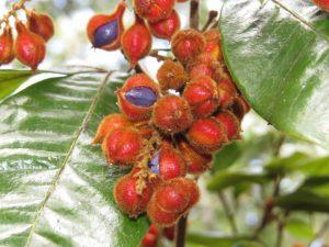 Mischocarpus fruit