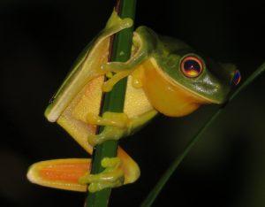 Orange-thighed Tree-frog, Litoria xanthomera