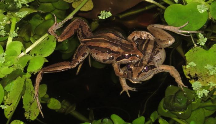 Striped Marsh frogs