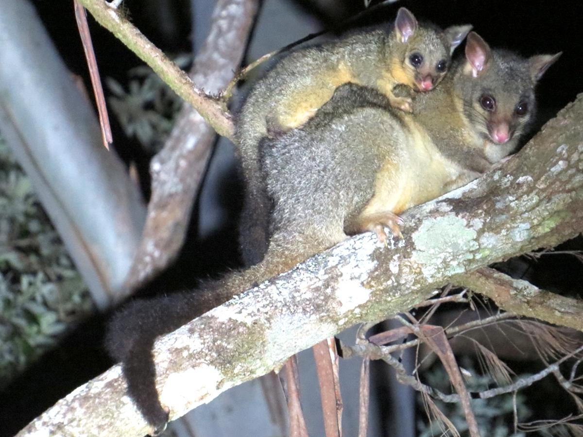 Common Brushtail Possums