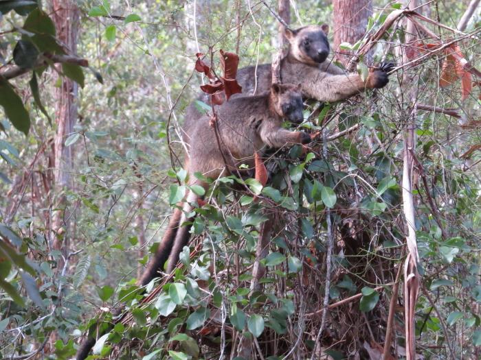 tree-kangaroos eating dodder laurel