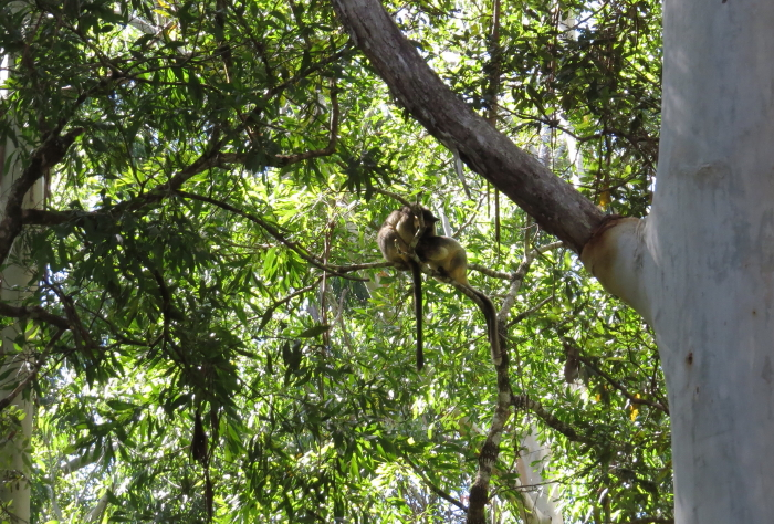 tree-kangaroos