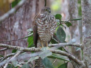 immature Sparrowhawk