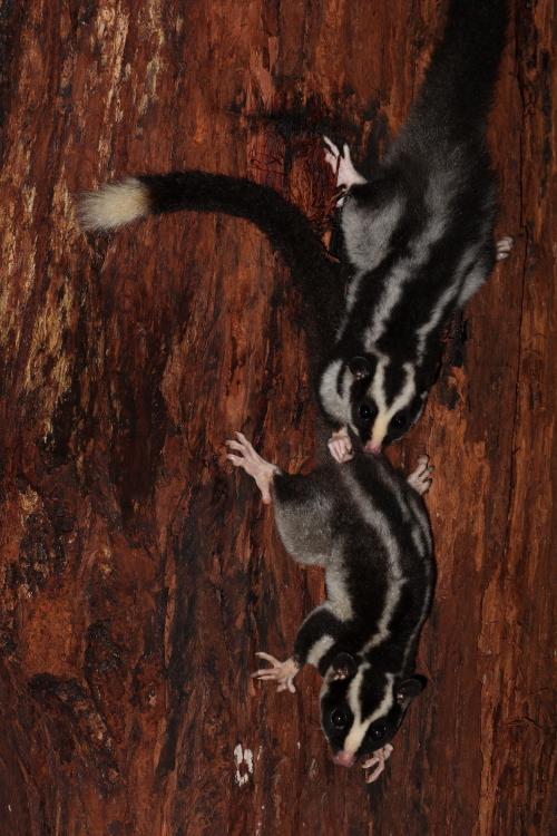 Striped Possums