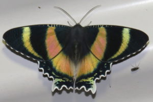 Queensland Day Moth Alcides metaurus