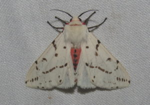 Light Ermine Moth Spilosoma canescens