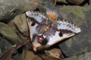 Black Spot Moth Epicoma melanospila