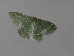 Lacy Emerald Eucyclodes insperata
