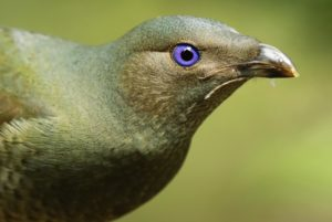 female Satin Bowerbird, by Steve Bond