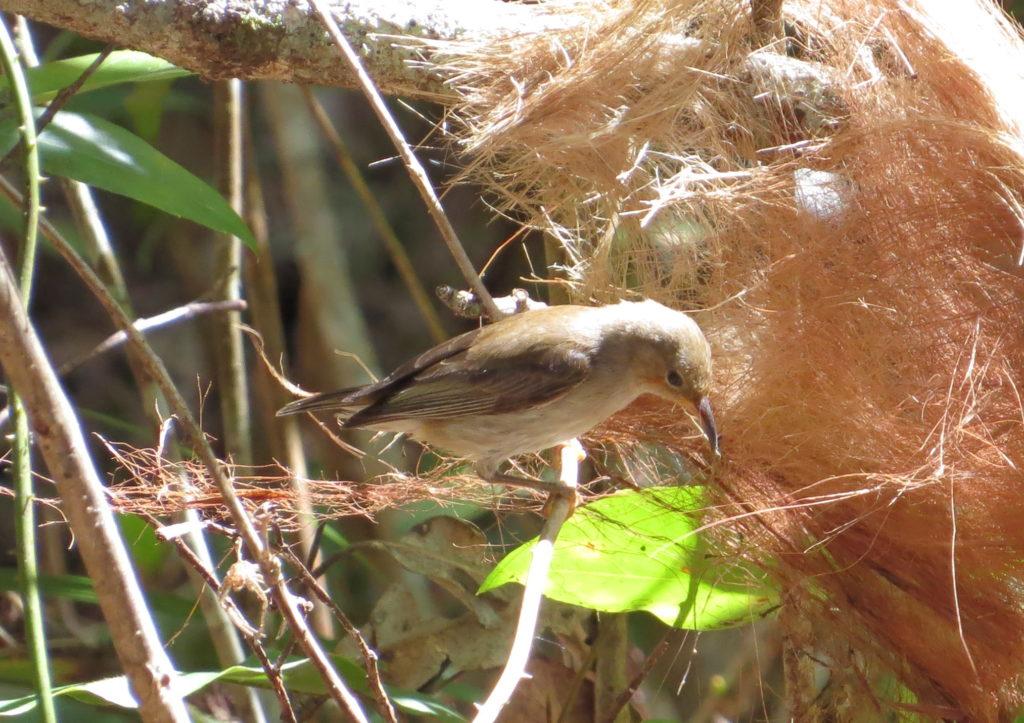 Scarlet Honeyeater, female gathering nesting material
