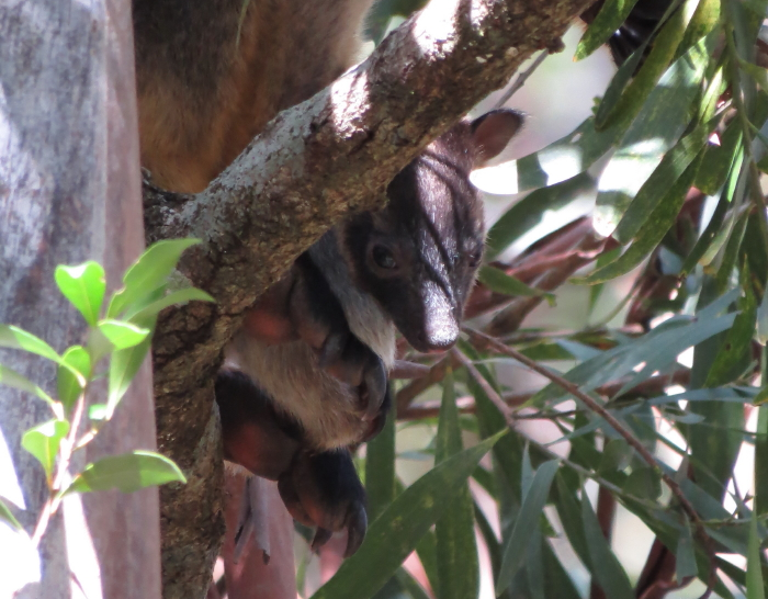 Tree-roo baby close-up