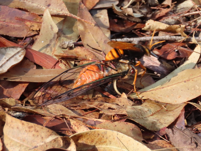Cicada-killer-Wasp-with-Red-Roarer