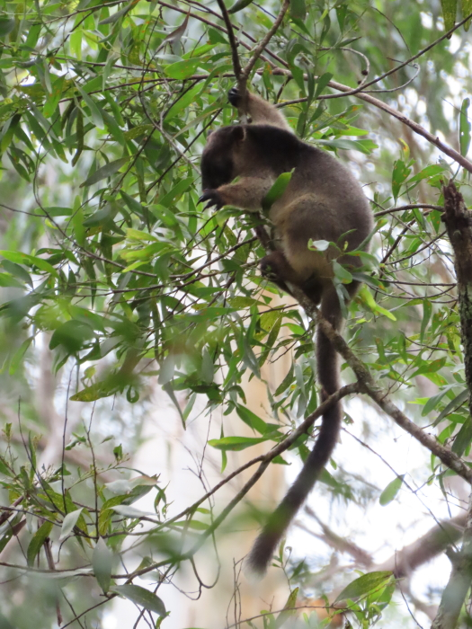 tree-kangaroo joey