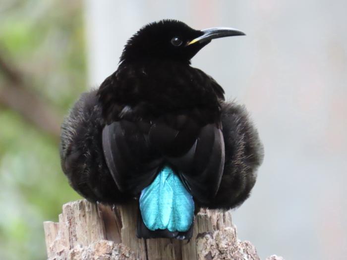 adult male Victoria's Riflebird