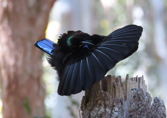 adult male Victoria's Riflebird