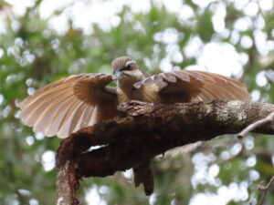 immature Victoria's Riflebird