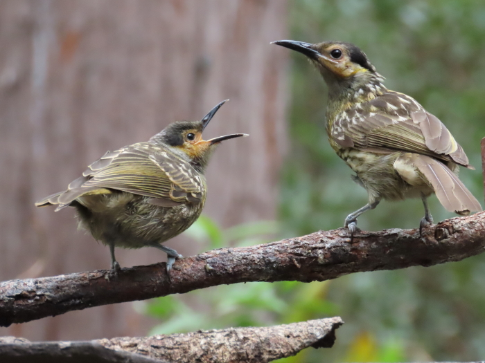 Macleay's Honeyeaters