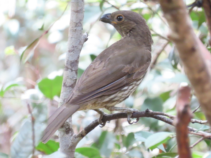 Tooth-billed Bowerbird
