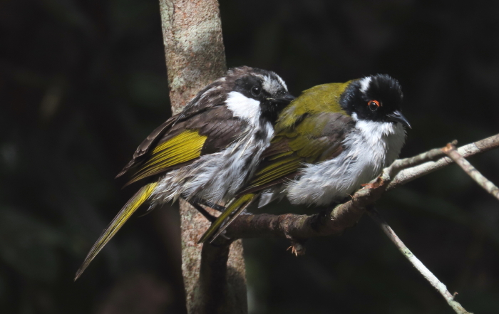 White-cheeked & White-throated Honeyeaters
