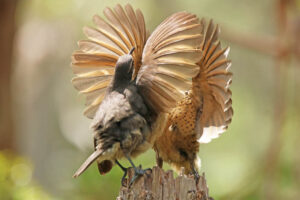 immature Victoria's Riflebirds practising